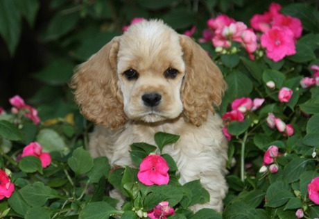 thehistoryofever_cocker_spaniel_puppy