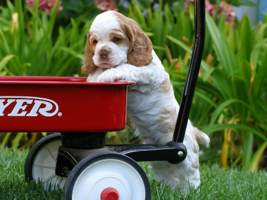 thehistoryofever_cocker_spaniel_puppy1